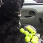 It's a Dog's World – Why Do Dogs Like Tennis Balls?